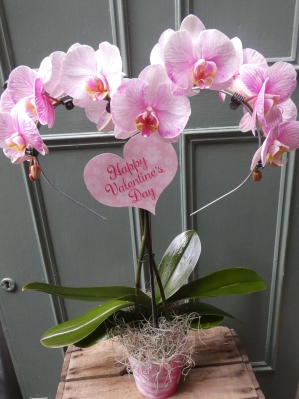 Unusual Beautiful Pretty Pink Phalaenopsis Orchid